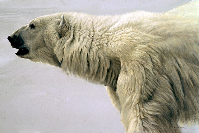 Polar Bear Profile, by Robert Bateman
