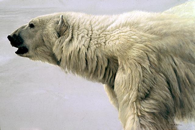 Polar Bear Profile, by Robert Bateman