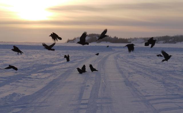 Ravens on the lake