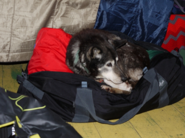 Wishbone, retired sled dog, moved into the cabin with us.  He loved Martin's bag!