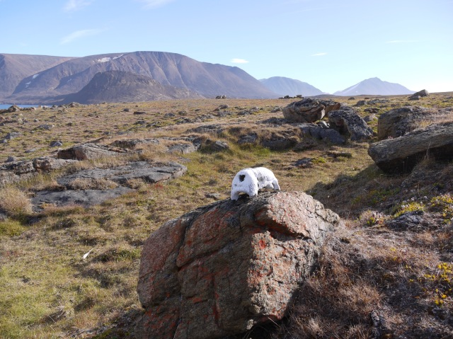 Walrus skull on Devon Island - likely left by an ancient hunter.